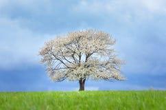Fjädra det körsbärsröda trädet i blomning på grön äng under blå himmel Tapetsera i mjukt, frilägefärger med utrymme för ditt Royaltyfri Bild
