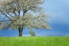 Fjädra det körsbärsröda trädet i blomning på grön äng under blå himmel Tapetsera i mjukt, frilägefärger med utrymme för din monta Arkivbilder