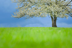 Fjädra det körsbärsröda trädet i blomning på grön äng under blå himmel Tapetsera i mjukt, frilägefärger med utrymme för din monta Arkivfoton