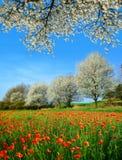 Fjädra det lantliga landskapet med det blommande vallmofältet och träd i solig dag royaltyfria bilder