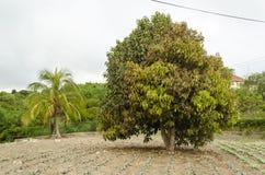 Fjädra det Otaheite trädet arkivbild