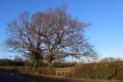 Fjädra drev med blåa himlar och ett gammalt träd Arkivbilder