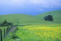 Fjädra fältet av senap med staketet, Cambria, CA Arkivfoto