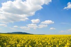 Fjädra fältet, landskapet av gula blommor som är moget fotografering för bildbyråer