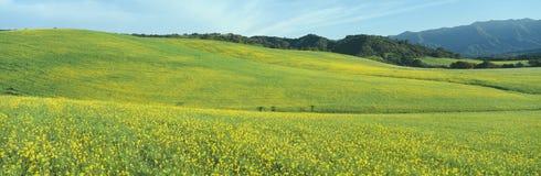 Fjädra fältet som är senapsgult kärnar ur, nära sjön Casitas, Kalifornien Arkivfoto