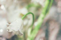 Fjädra försiktiga blommaliljor för den blommande skogen av dalen med daggdroppar på suddig bokehbakgrund av det utomhus- närbildm Royaltyfri Fotografi