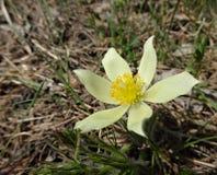 Fjädra först blomma-skogen snödroppar på en solig dag Arkivfoto
