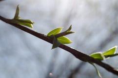 Fjädra första lilla gröna sidor på en frunch Arkivbilder