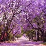 Fjädra gatan av den härliga violetta vibrerande jakarandan i blom Arkivfoto