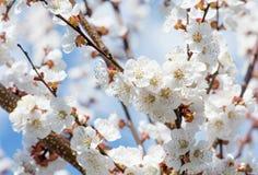 Fjädra gränsen, eller bakgrundskonst med rosa färger blomstrar Den härliga naturplatsen med det blommande trädet och solen blossa arkivfoto