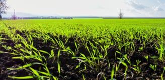 Fjädra gröna ändlösa fält nära byn av Srebarna som är 15 km bort västra av områdesstaden av Silistra, på westeren royaltyfri fotografi