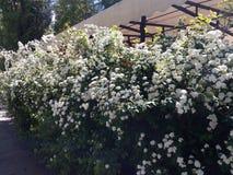 Fjädra gröna buskar som täckas med små vita blommor som står i en linje Royaltyfri Foto