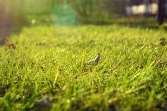 Fjädra grönt gräs i strålarna av solen naturliga abstrakt bakgrunder Royaltyfri Fotografi