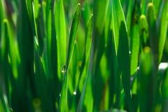 Fjädra grönt gräs i strålarna av solen naturliga abstrakt bakgrunder Arkivfoton