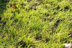 Fjädra grönt gräs i strålarna av solen naturliga abstrakt bakgrunder Royaltyfri Bild