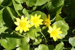 Fjädra gula blommor Royaltyfri Fotografi