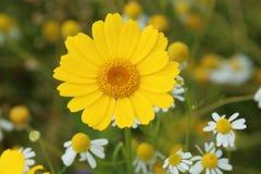 Fjädra gula blommor Royaltyfri Bild