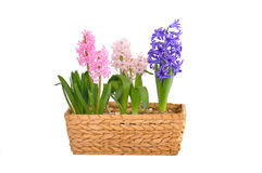 Fjädra hyacint i en korg Arkivfoton