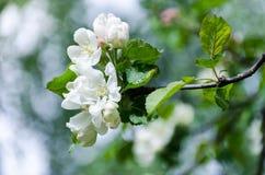 Fjädra i en fruktträdgård, härliga blommande äppleträd i vårPA Arkivbild