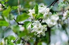 Fjädra i en fruktträdgård, härliga blommande äppleträd i vårPA Royaltyfri Bild