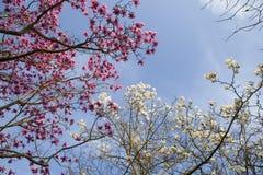Fjädra i London Magnolia`-Leonard Messel `, rosa färg blommar och slår ut öppning på träd Royaltyfri Foto