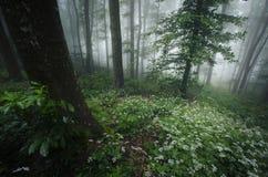 Fjädra i skogen med vita blommor och dimma royaltyfri foto