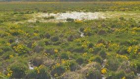 Fjädra i träsket, härligt gräs i vattnet Vertikalt panorera arkivfilmer