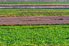 Fjädra jordbruks- fält med gröna plogade växter och trädor Royaltyfria Foton