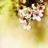 Fjädra körsbärsröda blomningar Fotografering för Bildbyråer