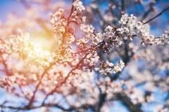 Fjädra körsbärsröda blomningar, rosa blommor, körsbärsröda blomningar Royaltyfria Bilder