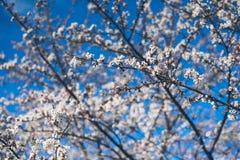 Fjädra körsbärsröda blomningar, rosa blommor, körsbärsröda blomningar Royaltyfria Foton