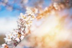 Fjädra körsbärsröda blomningar, rosa blommor, körsbärsröda blomningar Royaltyfri Foto