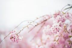 Fjädra körsbärsröda blomningar, rosa blommor, körsbärsröda blomningar Royaltyfri Fotografi