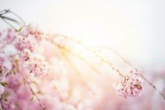 Fjädra körsbärsröda blomningar, rosa blommor, körsbärsröda blomningar Royaltyfri Bild