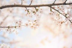 Fjädra körsbärsröda blomningar, rosa blommor, körsbärsröda blomningar Arkivbilder