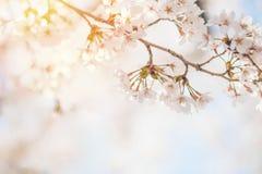Fjädra körsbärsröda blomningar, rosa blommor, körsbärsröda blomningar Fotografering för Bildbyråer