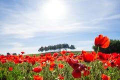 Fjädra landskapet med ett fält av röda vallmo arkivbild