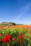Fjädra landskapet med ett fält av röda vallmo och en blå himmel arkivbilder
