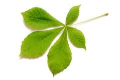 Fjädra leafen arkivfoton