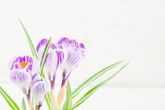 Fjädra lila och purpurfärgad krokus i en blomkruka green leaves liljar Spring Valley för leaves för hyacint för bakgrundskortgree Fotografering för Bildbyråer