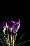Fjädra lila och purpurfärgad krokus i en blomkruka green leaves liljar Spring Valley för leaves för hyacint för bakgrundskortgree Royaltyfri Fotografi