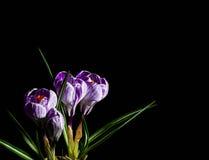 Fjädra lila och purpurfärgad krokus i en blomkruka green leaves liljar Spring Valley för leaves för hyacint för bakgrundskortgree Arkivfoton