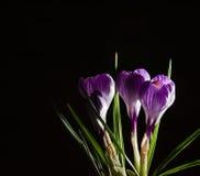 Fjädra lila och purpurfärgad krokus i en blomkruka green leaves liljar Spring Valley för leaves för hyacint för bakgrundskortgree Arkivfoto