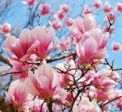 Fjädra magnoliaen Royaltyfri Bild
