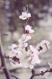 Fjädra oavkortad blom för körsbärsröda blomningar Royaltyfri Bild