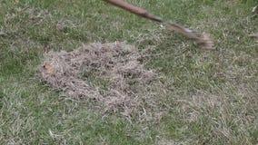 Fjädra omsorg för gräsmatta, den manuella scarificationen av gräsmatta med fanen krattar stock video
