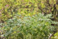 Fjädra plantor av en tomat på en suddig bakgrund av sidorna Royaltyfri Fotografi