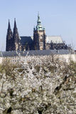 Fjädra Prague den gotiska slotten och de gröna natur- och blomningträden, Tjeckien Royaltyfria Bilder