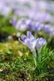 Fjädra purpurfärgad krokus på grönt gräs på den soliga dagen Royaltyfri Foto