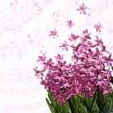 Fjädra rosa hyacinter över suddig bakgrund med musikaliska anmärkningar Royaltyfria Foton